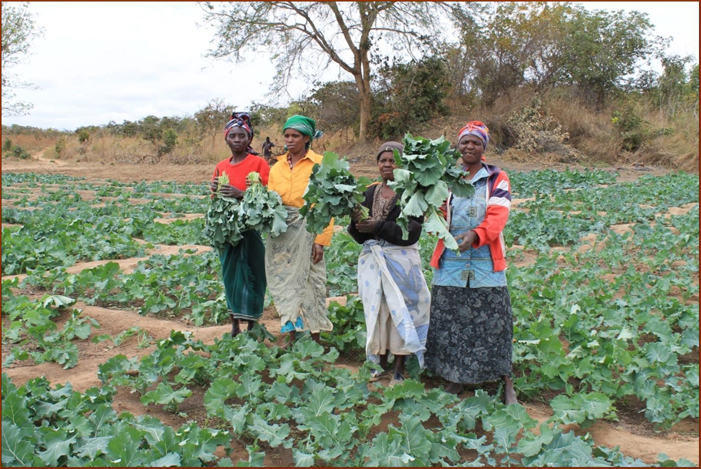 Kakwale aug 2012 eerste oogst