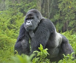 east-african-resident-gorilla-permit-price